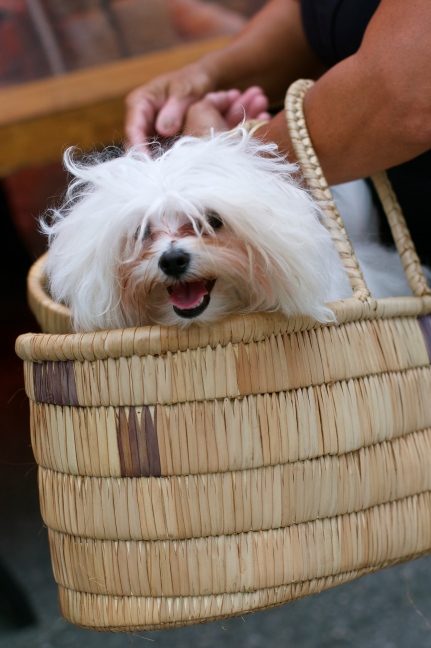 A happy Maltese hitching a ride